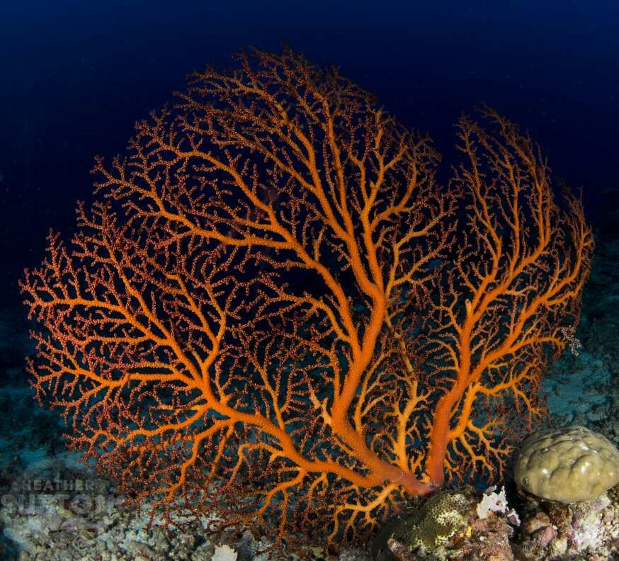Vanuatu-coral-diving