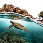 Spilt photo of green sea turtle swimming in hawaii