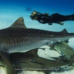 Ocean Ramsey freediving with sharks