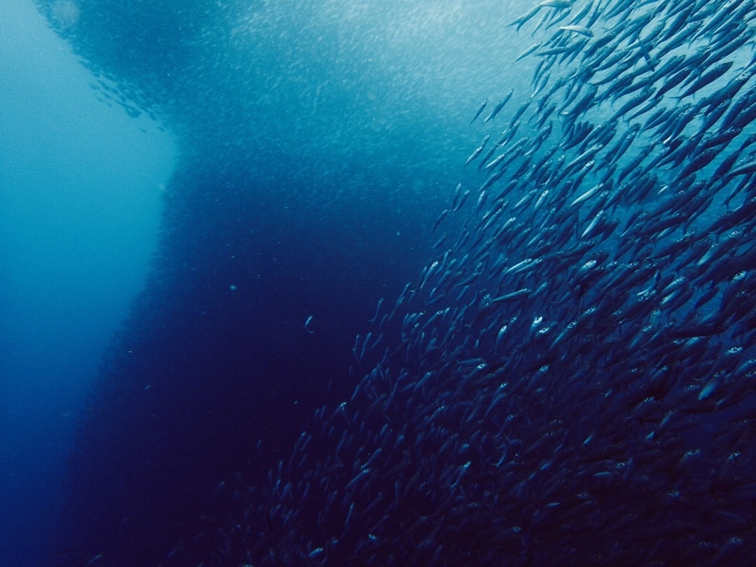 Diving with Sardines