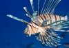 License to Kill: Stemming the Lionfish Invasion in the Atlantic