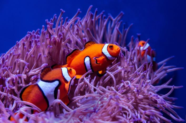 Clownfish: How Did They Become So Popular?